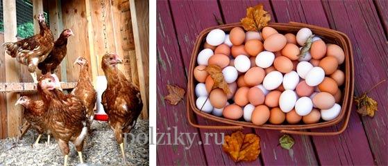 Сколько лет куры несут яйца
