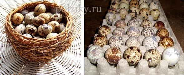 Купить инкубационные перепелиные яйца