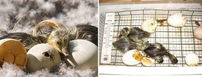 Температура инкубации гусиного яйца в домашних условиях