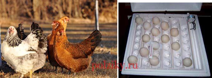 Как отбирают кур несушек и яйца для инкубации