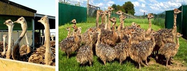 Где купить страусов для разведения в России