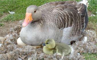 Сроки инкубации гусиных яиц
