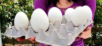 Цена гусиных яиц
