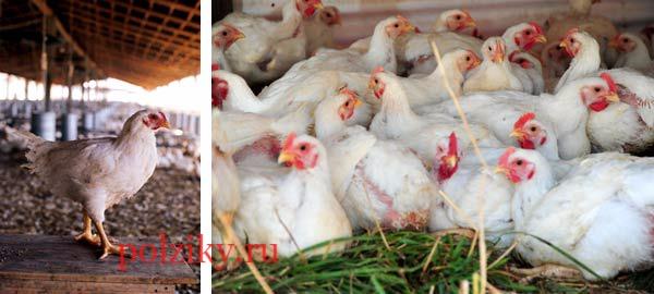 Как предупредить возможные заболевания цыплят бройлеров