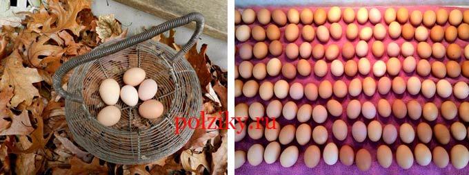 Инкубационные яйца кур несушек – что учитывают на ферме
