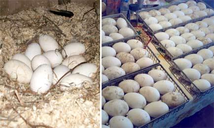 Гусиные яйца для инкубатора