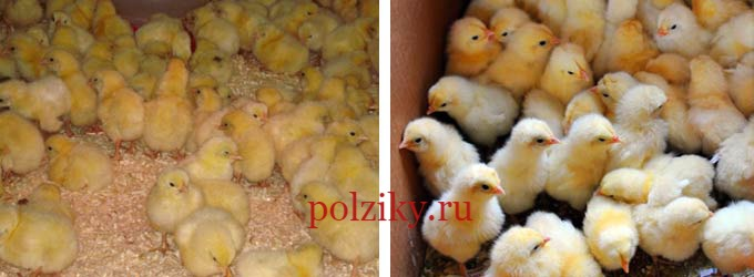 Сколько стоят суточные цыплята бройлеры цена