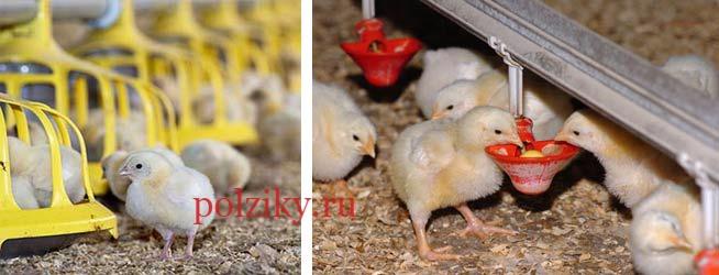 Цыплята бройлеров от птицефабрик