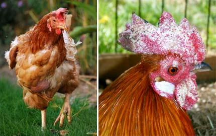 Болезни куриц и их лечение
