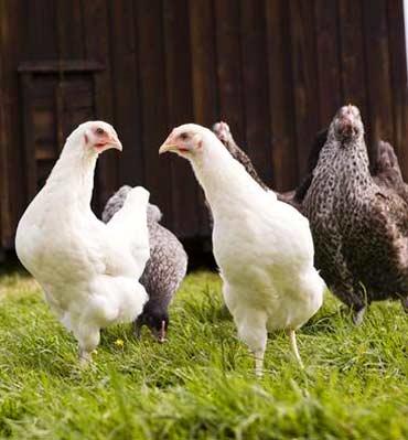 курица несет яйца без петуха