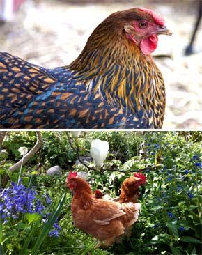 Разведение куриц в домашних условиях