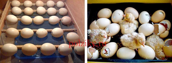 Можно ли безопасно переслать инкубационное яйцо почтой