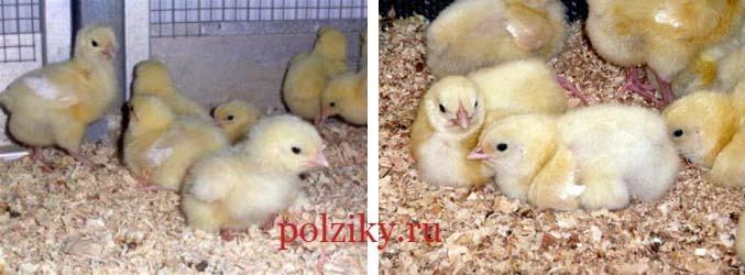 Фермерские цыплята бройлеров