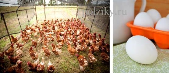 Сколько яиц несет курица