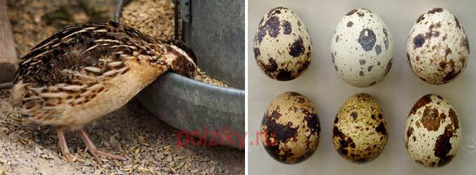 Кто занимается продажей инкубационных яиц японских перепелов