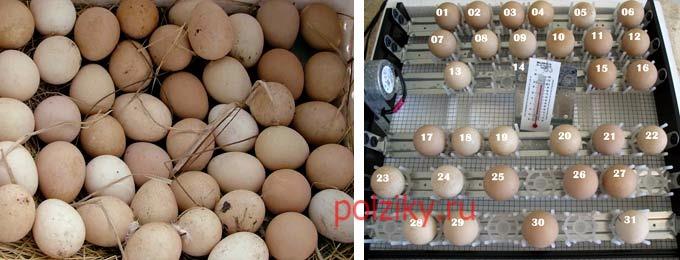 Как проводится инкубация цесариных яиц