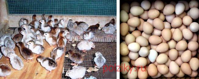 Какая стоимость яиц цесарок инкубационных