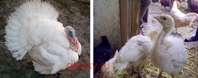 Высиживают ли яйца белые широкогрудые индейки
