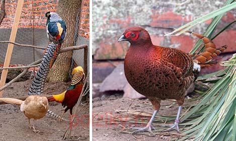 Есть ли особенности в кормлении фазанов в зимнее и летнее время