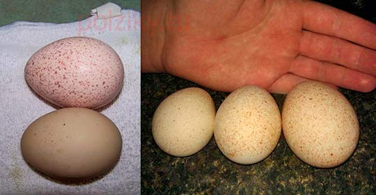 Какого размера должны быть яйца индеек