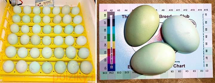 Как выбрать яйца Амерауканы на инкубацию