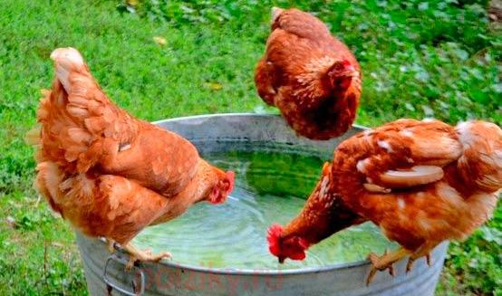 Болезни гребня кур и петухов