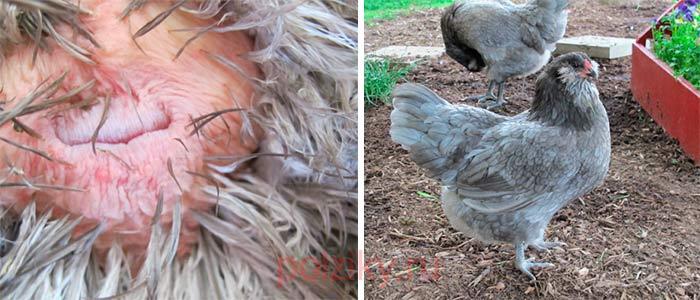 Выздоровевшая курица после провисания матки