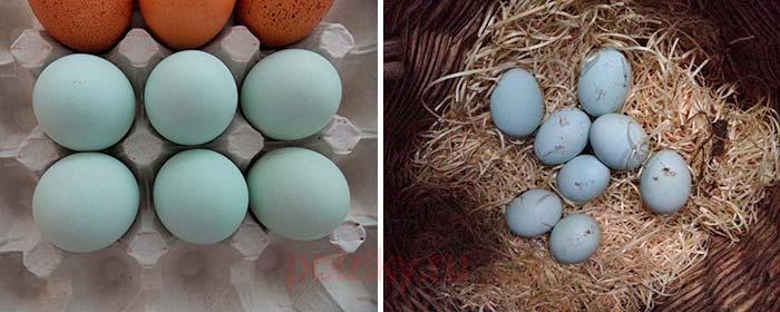 Как выбирать инкубационные яйца Легбара