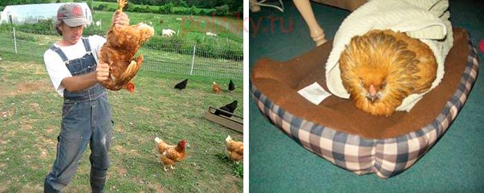 Как опустошить зоб курицы