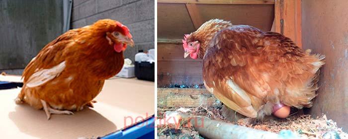 Как помочь курице снести яйцо