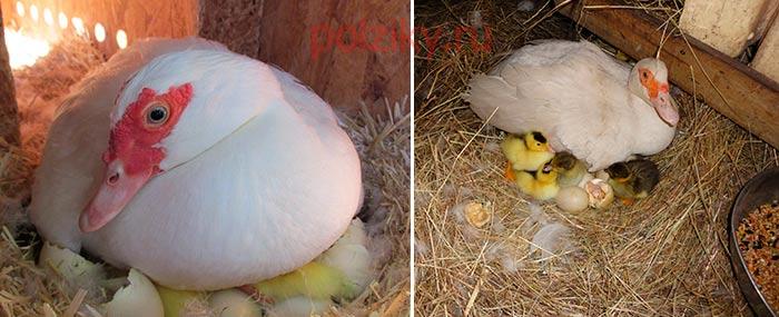 Как посадить утку на гнездо