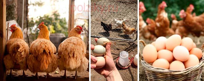 Как улучшить яйценоскость кур летом