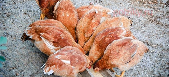 Сколько зерна требуется курице на день
