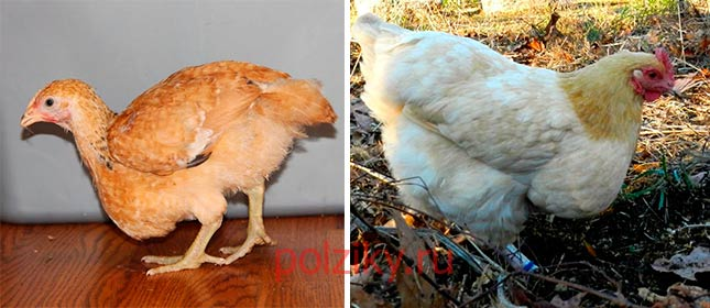 У курицы вырос большой зоб