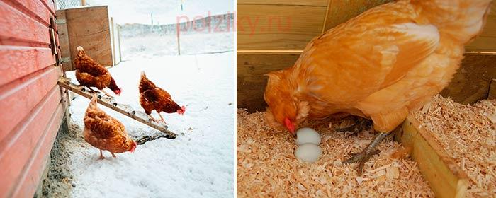 Чем кормить кур зимой для лучшей яйценоскости