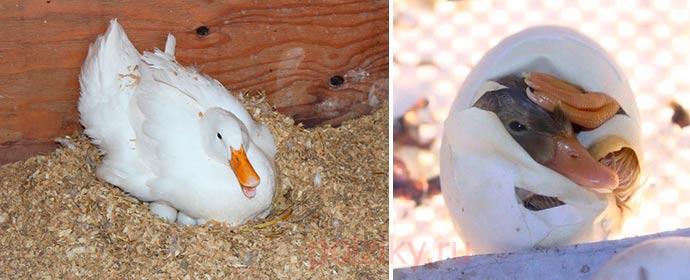 Что делать если утки несутся в одно гнездо