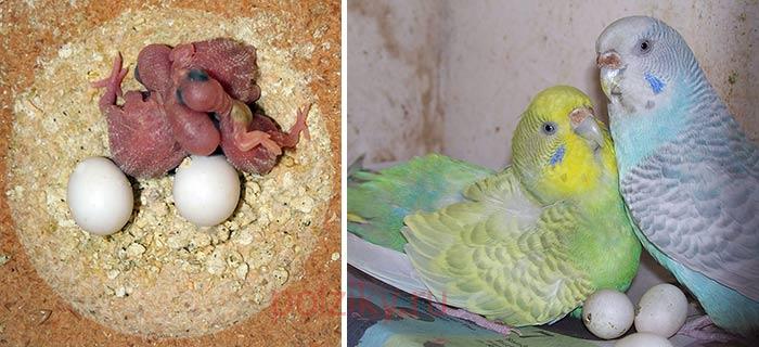 Волнистые попугаи снесли яйца