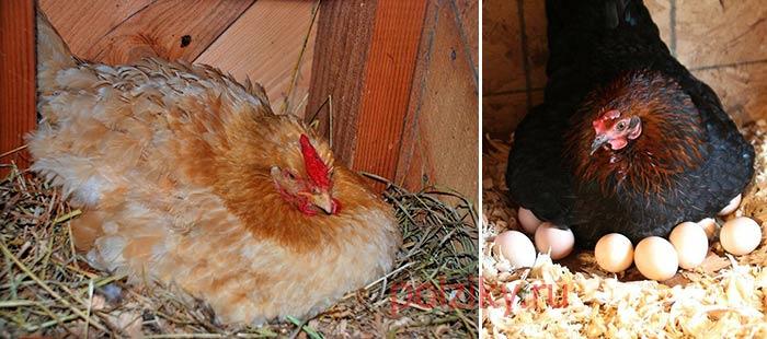 Как и сколько куры высиживают яйца