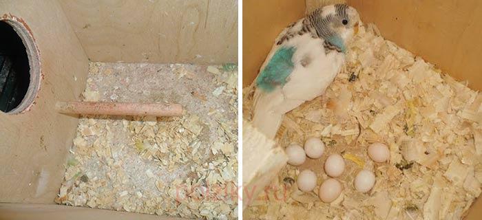 Как ухаживать за попугаями если они снесли яйца
