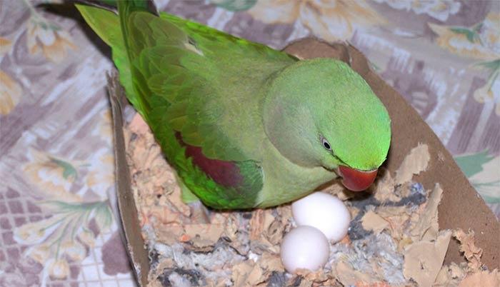 Неразлучник сел на яйца