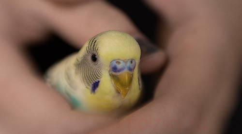 Попугай снес яйцо - как быть