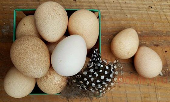 В каком виде полезны яйца цесарки