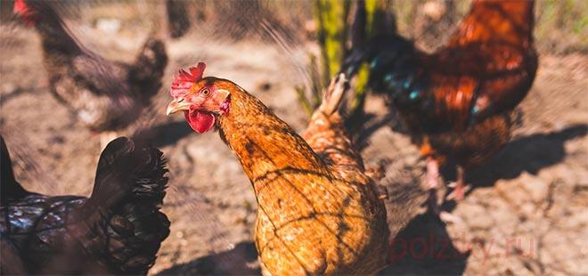 Как избавить курятник и кур от паразитов