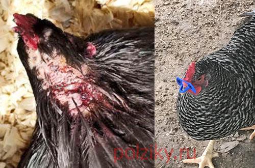 курицы не едят и сидят в углу