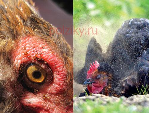 курицы стали мало есть